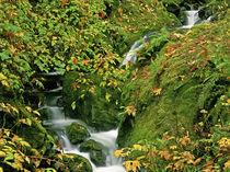 Verdant stream along the Redwoods Trail by Danita Delimont