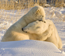 Sparring polar bears by Danita Delimont