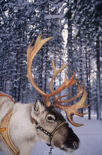 In Santa Claus's country the reindeers abound by Danita Delimont