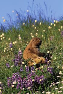 Olympic marmot eating flowers in meadow near Obstruction Point; summer by Danita Delimont