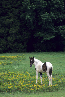 Colt grazing in a pasture with yellow flowers von Danita Delimont