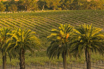 Landscape view of palm trees along Barossa Valley Estates vineyards seen from Glaymond Wines's vineyard by Danita Delimont