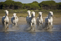 Horses run through the estuary waters von Danita Delimont