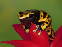 Close-up of orange-banded poison dart frog on flower by Danita Delimont