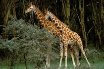 Masai giraffe (Giraffe amelopadaris) by Danita Delimont