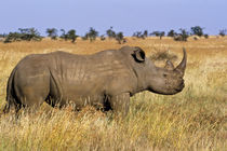 White rhinoceros ('Ceratotherium simum') on grassy plain by Danita Delimont