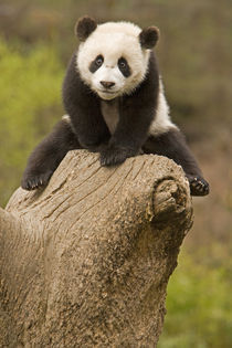 Baby Panda on top of tree stump by Danita Delimont
