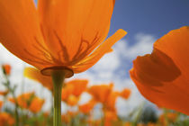 Close UP of California Poppy With Blue Sky von Danita Delimont