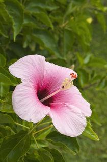 Hibiscus flower von Danita Delimont