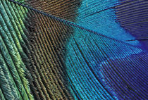 Male peacock feather detail by Danita Delimont