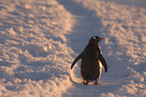 A gentoo penguin pauses for a rest during a march down a penguin trail towards it's colony on Petermann Island in the Antarctic Peninsula by Danita Delimont