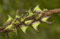 Close-up of thorn treehoppers bunched on a limb by Danita Delimont