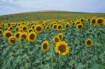Sunflower field von Danita Delimont
