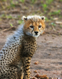 Cheetah Cub (Acinonyx Jubatus) as seen in the Masai Mara by Danita Delimont