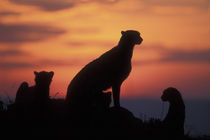 Adult Female Cheetah (Acinonyx jubatas) silhouetted by setting sun on savanna at dusk von Danita Delimont
