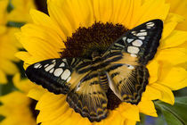 Washington Tropical Butterfly Photograph of Parthenos sylvia philippensis the Brown Clipper von Danita Delimont