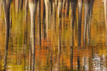 Reflections of cypress trees in the fall von Danita Delimont