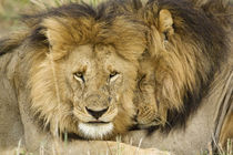 Two lions resting face to face by Danita Delimont