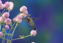Black-chinned hummingbird (female) von Danita Delimont