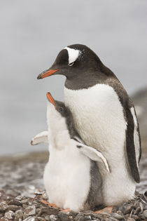 Gentoo penguin chick raises its flippers during a bonding moment with its parent by Danita Delimont
