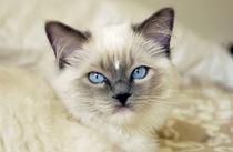 Ragdoll kitten von Danita Delimont