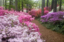 Azaleas at Callaway Gardens in the spring by Danita Delimont