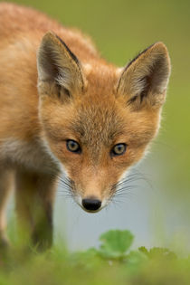 Red Fox by Danita Delimont
