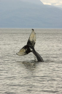 Humpback Whale head stand behavior by Danita Delimont