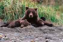 Sow and Cubs von Danita Delimont