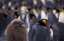 South Georgia Island King penguin (Aptenodytes patagonica) fully-grown young (left) begging parent for food von Danita Delimont
