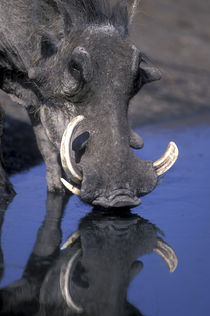 Warthog (Pharcochoerus africanus) drinking from water pool in Savuti Marsh by Danita Delimont