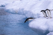 The largest Adelie penguin colony in the world von Danita Delimont