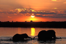 Herd of Elephant (Loxodonta africana) cool off in Chobe River at sunset von Danita Delimont