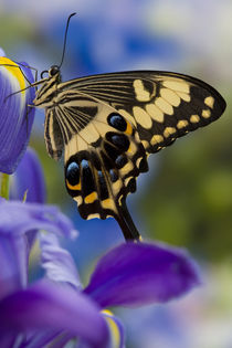 Washington Tropical Butterfly Photograph of Papilio ophidicephalus the Emperor Swallowtail from Africa on Dutch Blue Iris by Danita Delimont