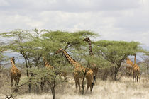 Rothschild giraffes feeding on trees by Danita Delimont