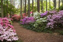 A pathway through azaleas and rhododendrons by Danita Delimont