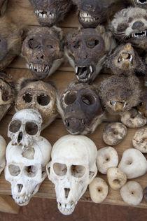 Monkey & rodent skulls by Danita Delimont