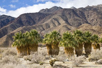 Desert palms by Danita Delimont