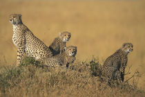 Adult Female Cheetah (Acinonyx jubatas) sitting with cubs looking out on savanna by Danita Delimont