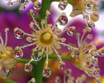 Cosmos flowers reflect in dewdrops clinging to laurel bloom by Danita Delimont