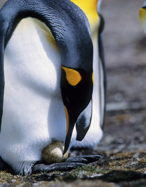 King penguin tends single egg von Danita Delimont