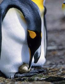 King penguin tends single egg by Danita Delimont
