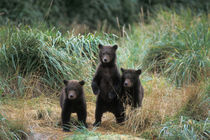 Three spring cubs in Katmai National Park on the Alaskan peninsula by Danita Delimont