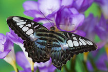 Washington Tropical Butterfly Photograph of Parthenos sylvia lilacinus the B lue Clipper for Asia by Danita Delimont