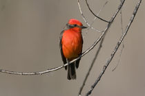 USA - California - San Diego County - Vermilion Flycatcher sitting on branch von Danita Delimont