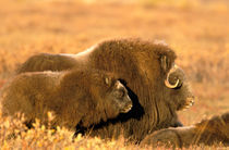 Cow and calf musk ox (Ovicus moschatus) stand together on autumn colored tundra of ANWR von Danita Delimont