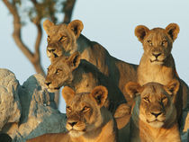 Zibalianja Camp; Six female lions both observing the territory by Danita Delimont