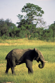Loxodonta africana by Danita Delimont