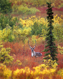 Caribou and autumn tundra in Denali National Park by Danita Delimont