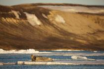 Bearded Seal (Erignathus barbatus) resting on pan ice in Lomfjorden at sunset on summer evening von Danita Delimont